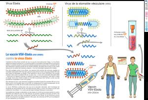 Infographie sur le vaccin expérimental VSV-ZEBOV