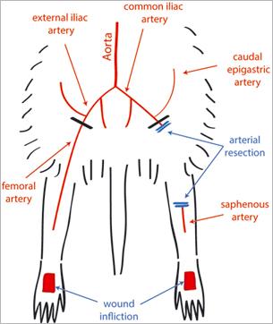 Cicatrisation cutanée et thérapie des plaies chroniques