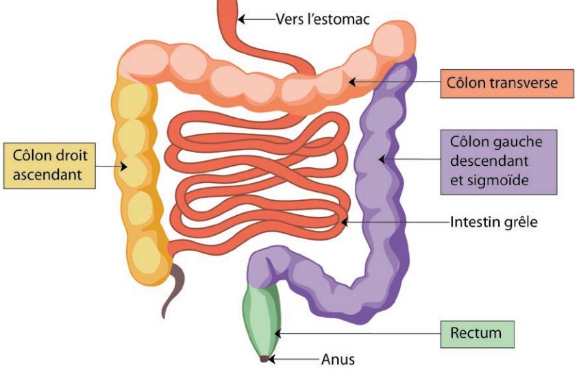 Infographie : le côlon et le rectum