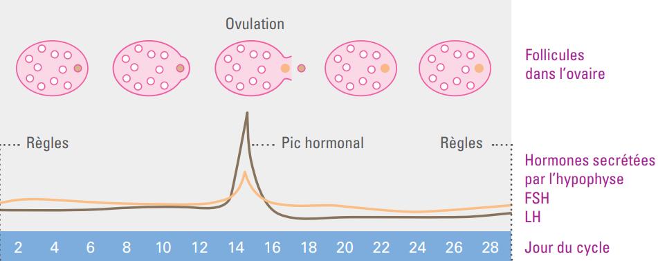 Cycle menstruel régulier