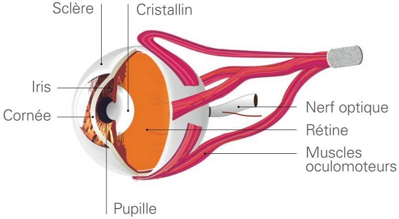 le fonctionnement de l'œil