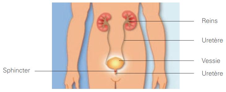 Comment fonctionne le système urinaire ?